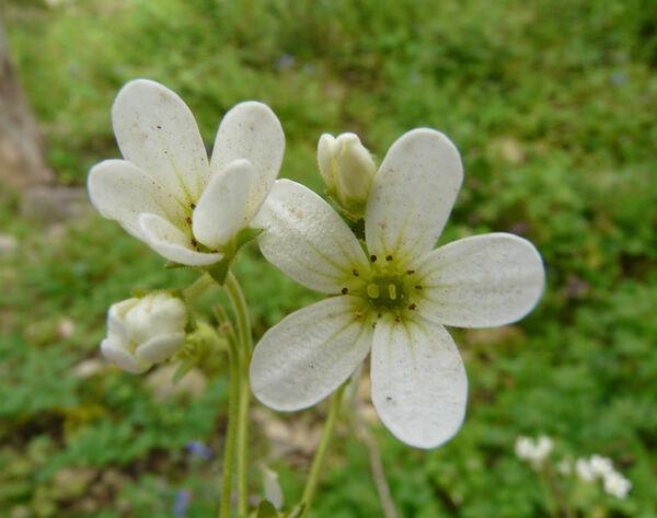 Saxifraga bulbifera L.