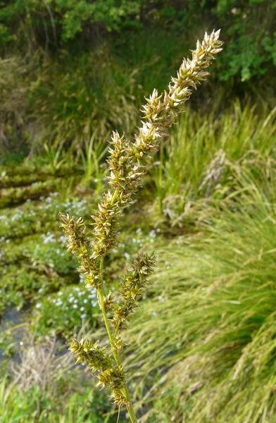 Carex paniculata L. subsp. paniculata