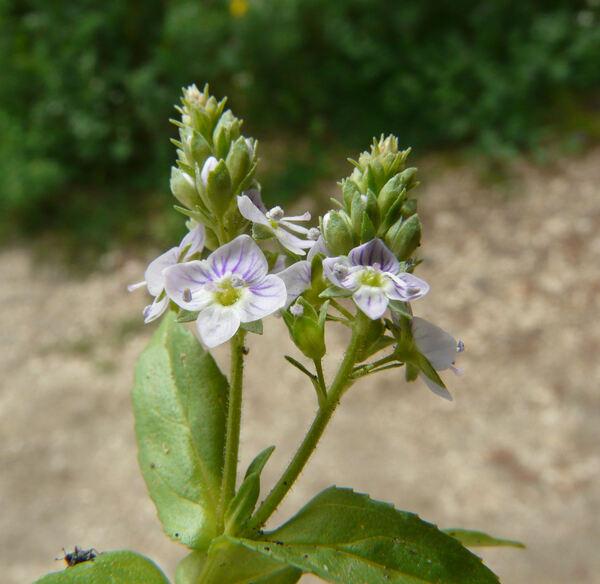 Veronica anagallis-aquatica L. subsp. anagallis-aquatica
