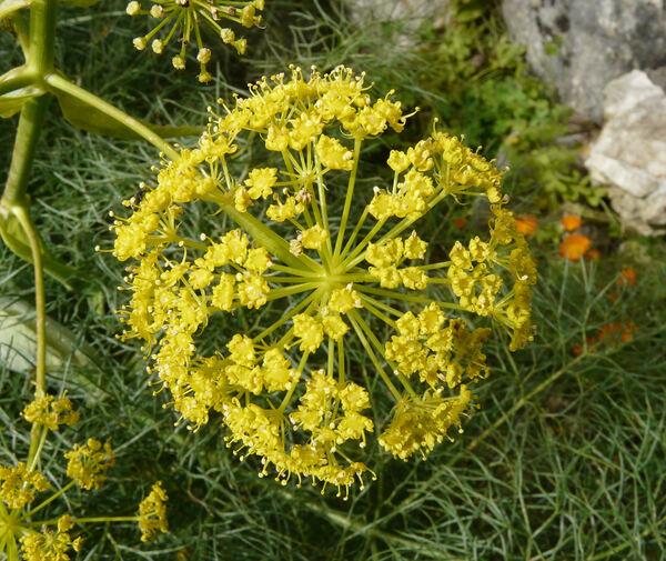 Ferula communis L. subsp. communis
