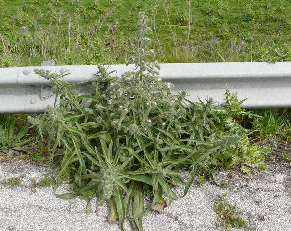 Echium italicum L. subsp. siculum (Lacaita) Greuter & Burdet