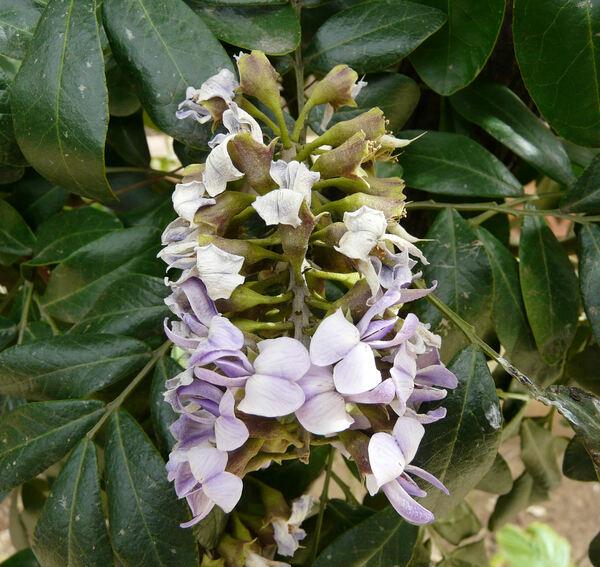 Calia secundiflora (Ortega) Yakovlev