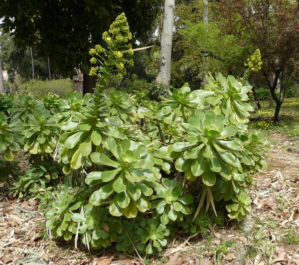 Aeonium arboreum (L.) Webb & Berthel.