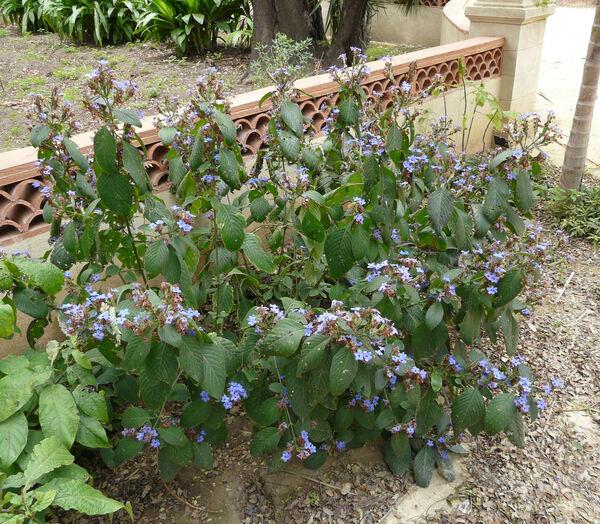 Eranthemum pulchellum Andr.