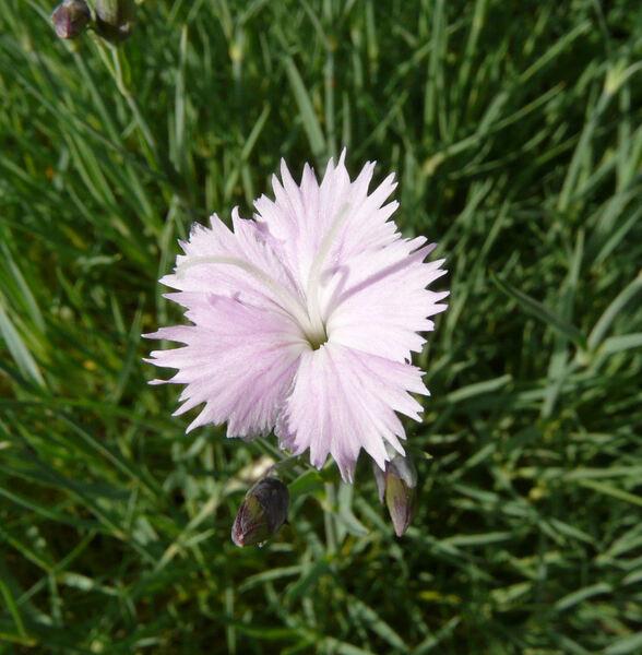 Dianthus velebiticus Borbás ex Degen