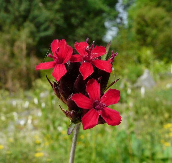Dianthus carthusianorum L. subsp. atrorubens (All.) Pers.
