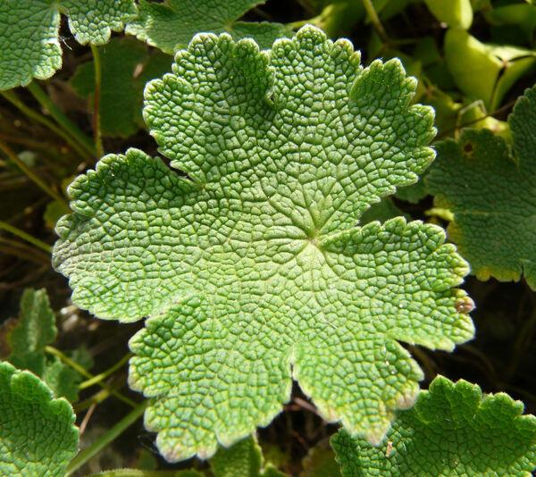 Geranium renardii Trautv.