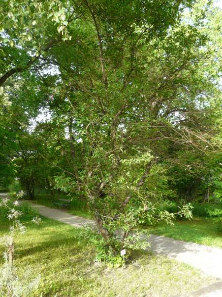 Salix mielichhoferi Saut.