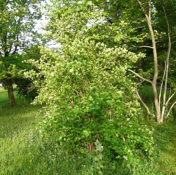 Physocarpus capitatus (Pursh) Kuntze