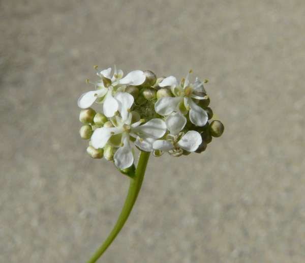 Lepidium cartilagineum (J.C. Mayer) Thell.