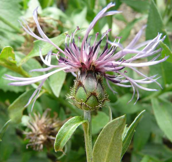 Centaurea triumfettii All.