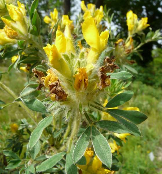 Chamaecytisus austriacus (L.) Link