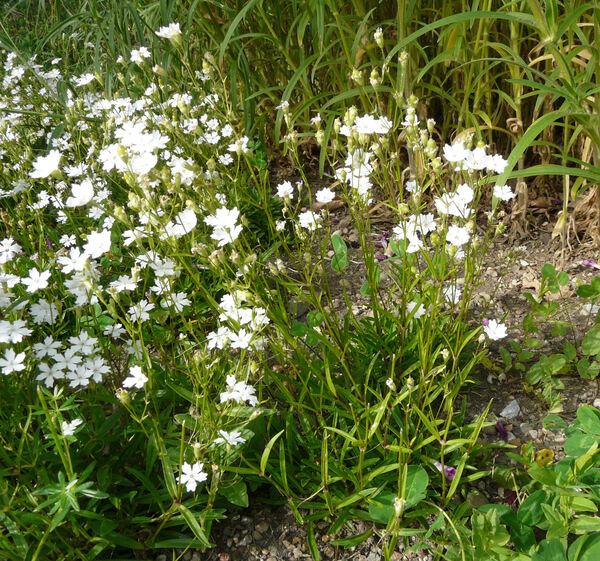 Heliosperma alpestre (Jacq.) Griseb.