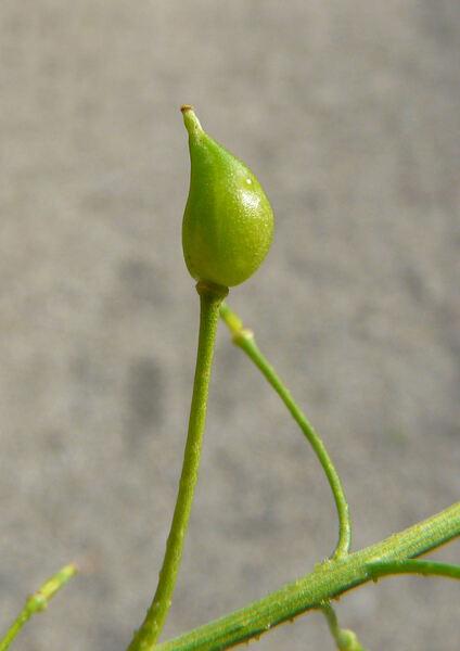 Bunias orientalis L.