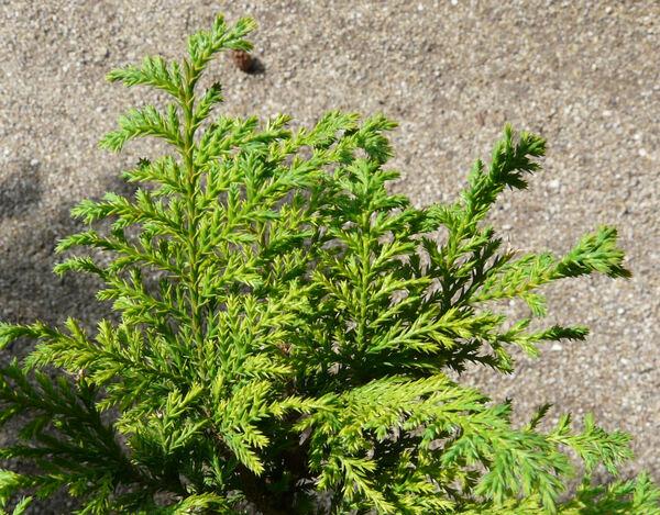 Chamaecyparis pisifera (Siebold & Zucc.) Endl. 'Plumosa aurea'