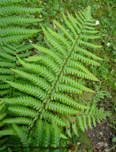 Dryopteris affinis (Lowe) Fraser-Jenk. s.l.