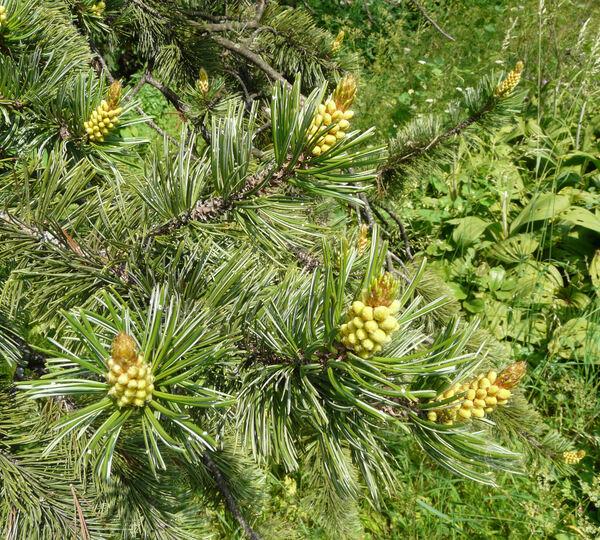 Pinus aristata Engelm.