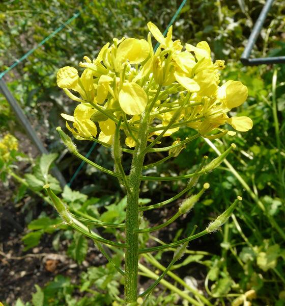 Sinapis alba L. subsp. alba