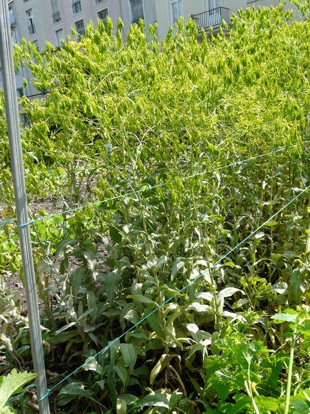 Isatis tinctoria L. subsp. tinctoria