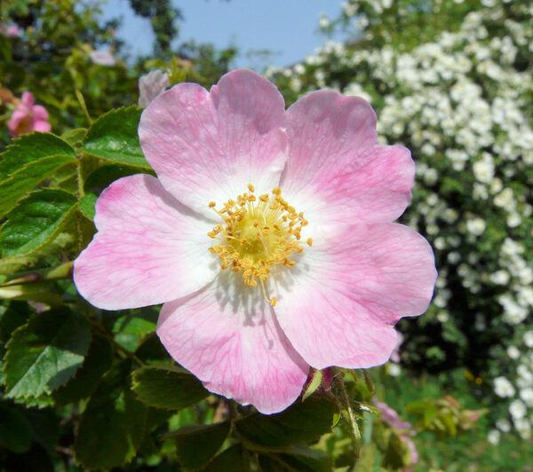 Rosa micrantha Borrer ex Sm.