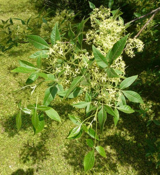 Ptelea trifoliata L.