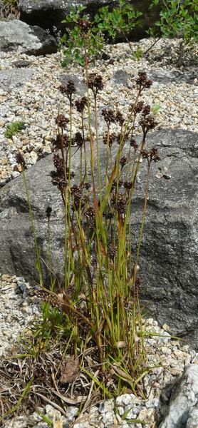 Luzula multiflora (Ehrh.) Lej. subsp. multiflora