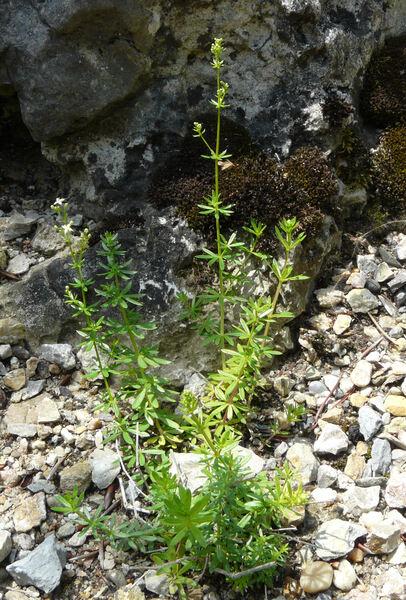 Galium meliodorum (G. Beck) Fritsch