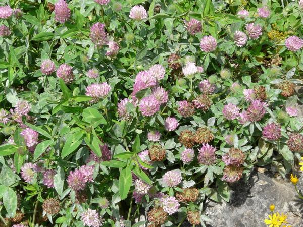 Trifolium pratense L. subsp. nivale Ces.