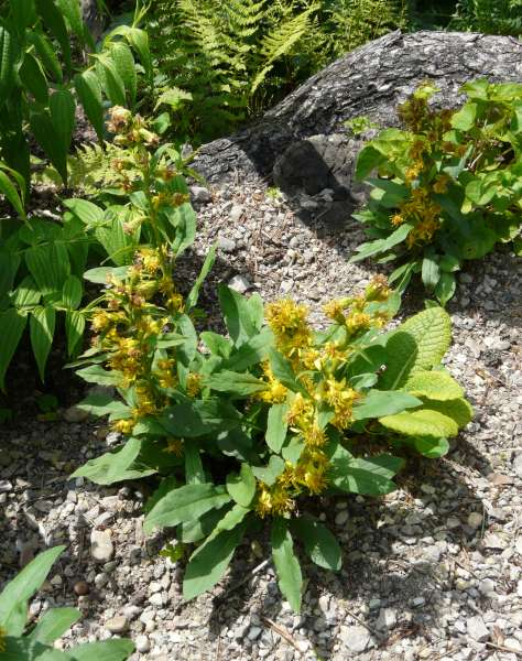 Solidago virgaurea L. subsp. minuta (L.) Arcang.