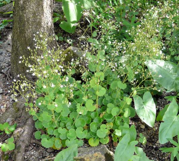 Saxifraga rotundifolia L. subsp. rotundifolia