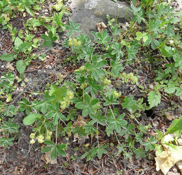 Alchemilla alpina L.