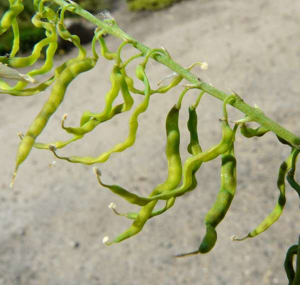Corydalis ophiocarpa Hook. f. & Thoms.
