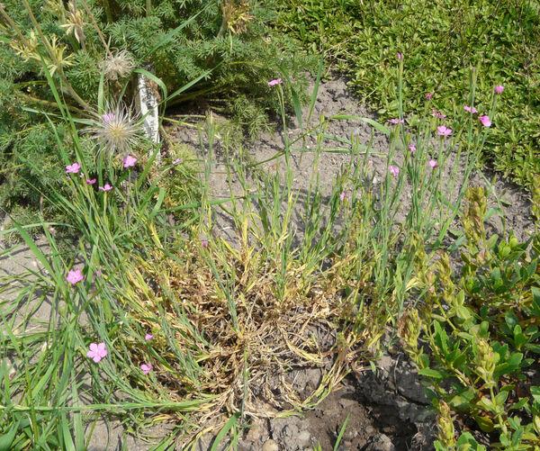Dianthus deltoides L. subsp. deltoides