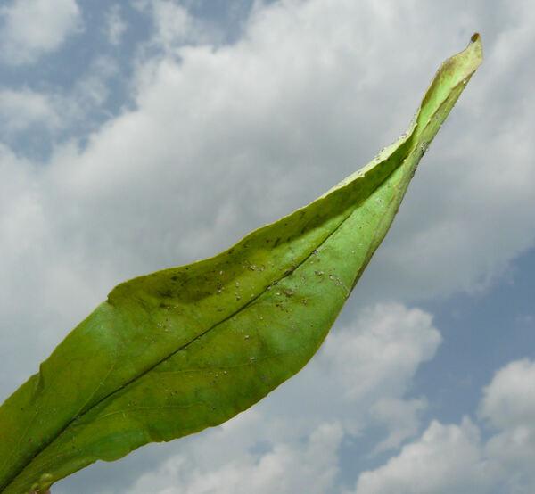 Penstemon hirsutus (L.) Willd.