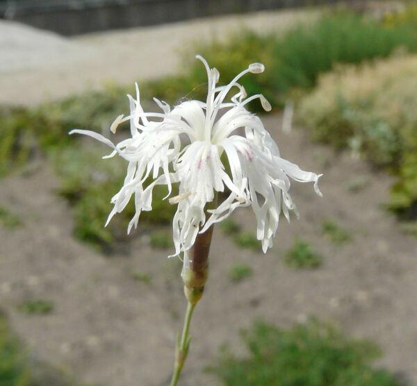 Dianthus arenarius L. var. suecicus Novák