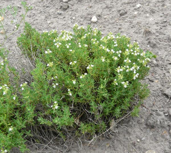 Thymus vulgaris L. subsp. vulgaris