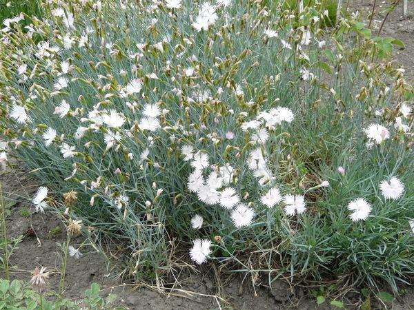 Dianthus subacaulis Vill. subsp. brachyanthus (Boiss.) P. Fourn.