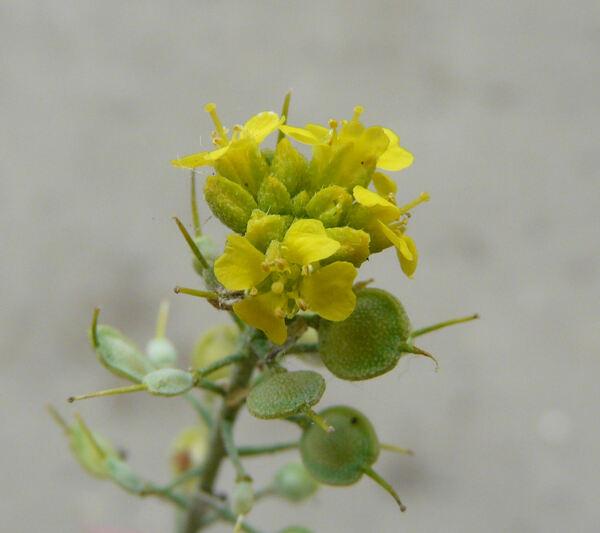 Alyssum wulfenianum Bernh. subsp. ovirense (A.Kern.) Magauer, Schönsw. & Frajman