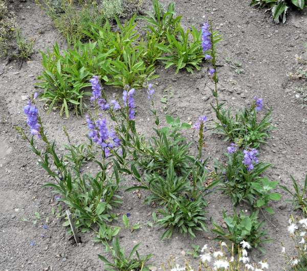 Penstemon strictus Benth.