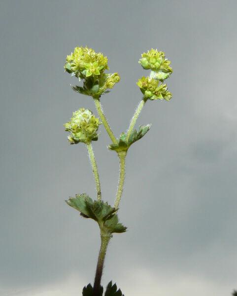 Alchemilla sericata Rchb.