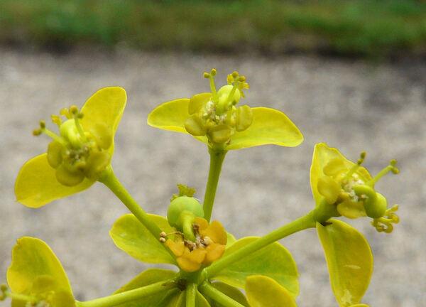 Euphorbia soongarica Boiss.