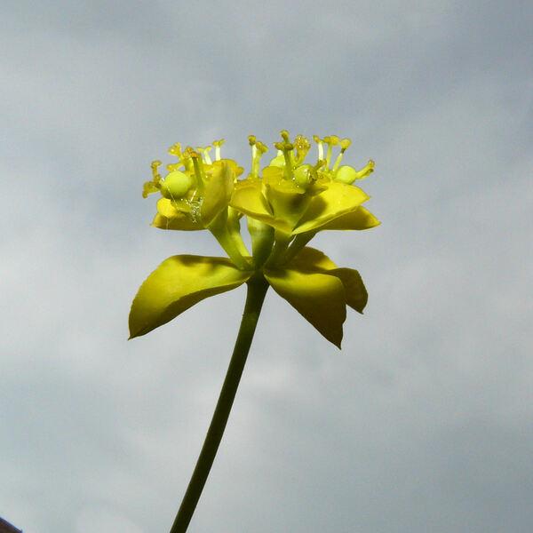 Euphorbia schillingii Radcl.-Sm.