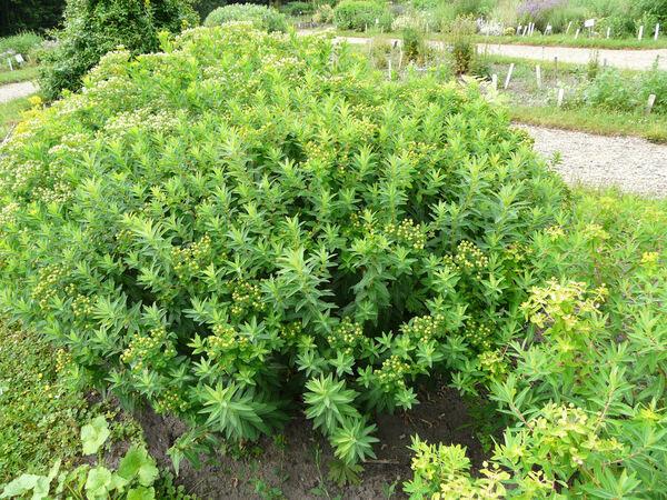Euphorbia platyphyllos L.