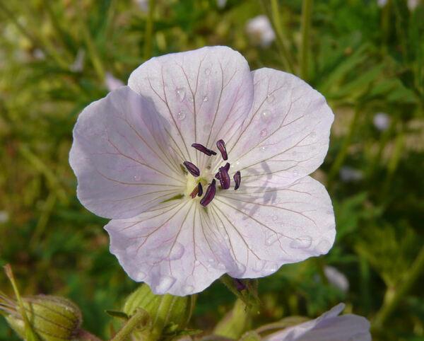 Geranium grandiflorum Edgeworth