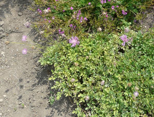Centaurea koenigi Sosn.
