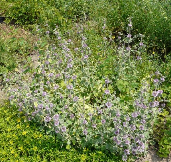 Marrubium incanum Desr. cultivar