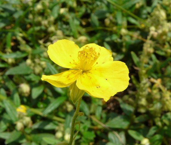 Helianthemum nummularium (L.) Mill. subsp. tomentosum (Scop.) Schinz & Thell.