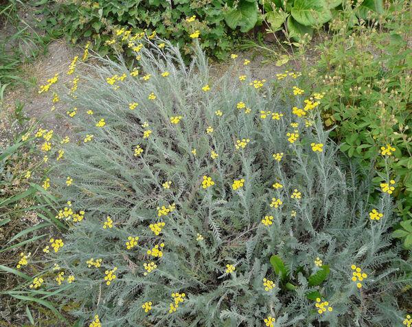 Tanacetum bipinnatum (L.) Sch.Bip.