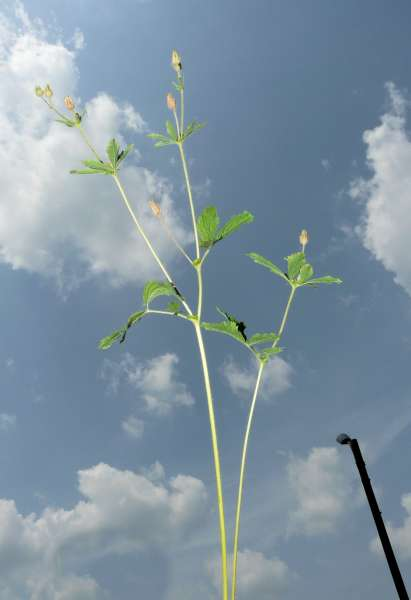 Potentilla erecta (L.) Raeusch. subsp. strictissima (Zimmeter) A.J.Richards