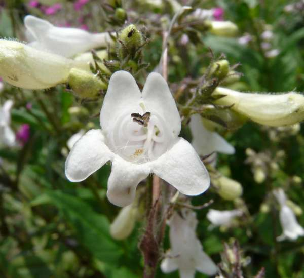 Penstemon newberryi A.Gray